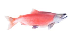 Kokanee Salmon at Big Ed's Fishing Ventures